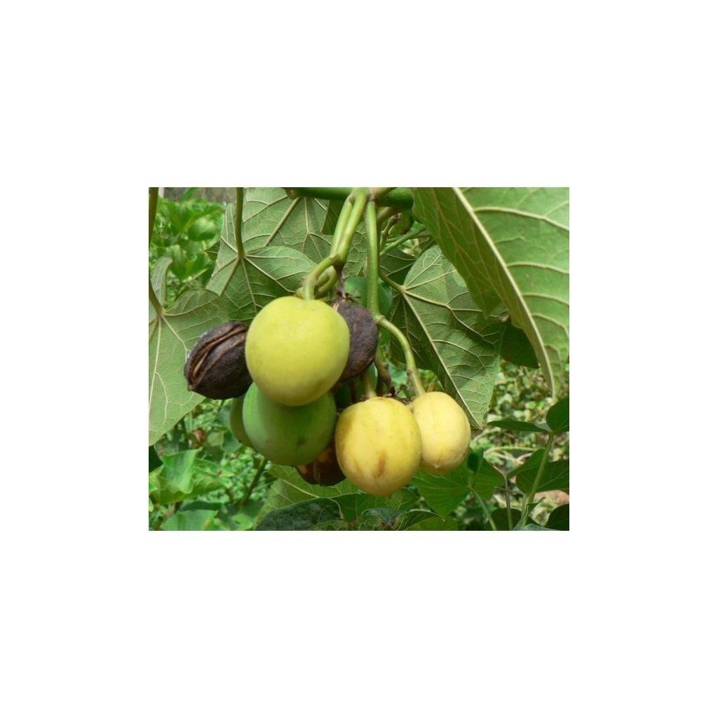 Dávivec černý (Jatropha curcas) - semena dávivce - 4 ks