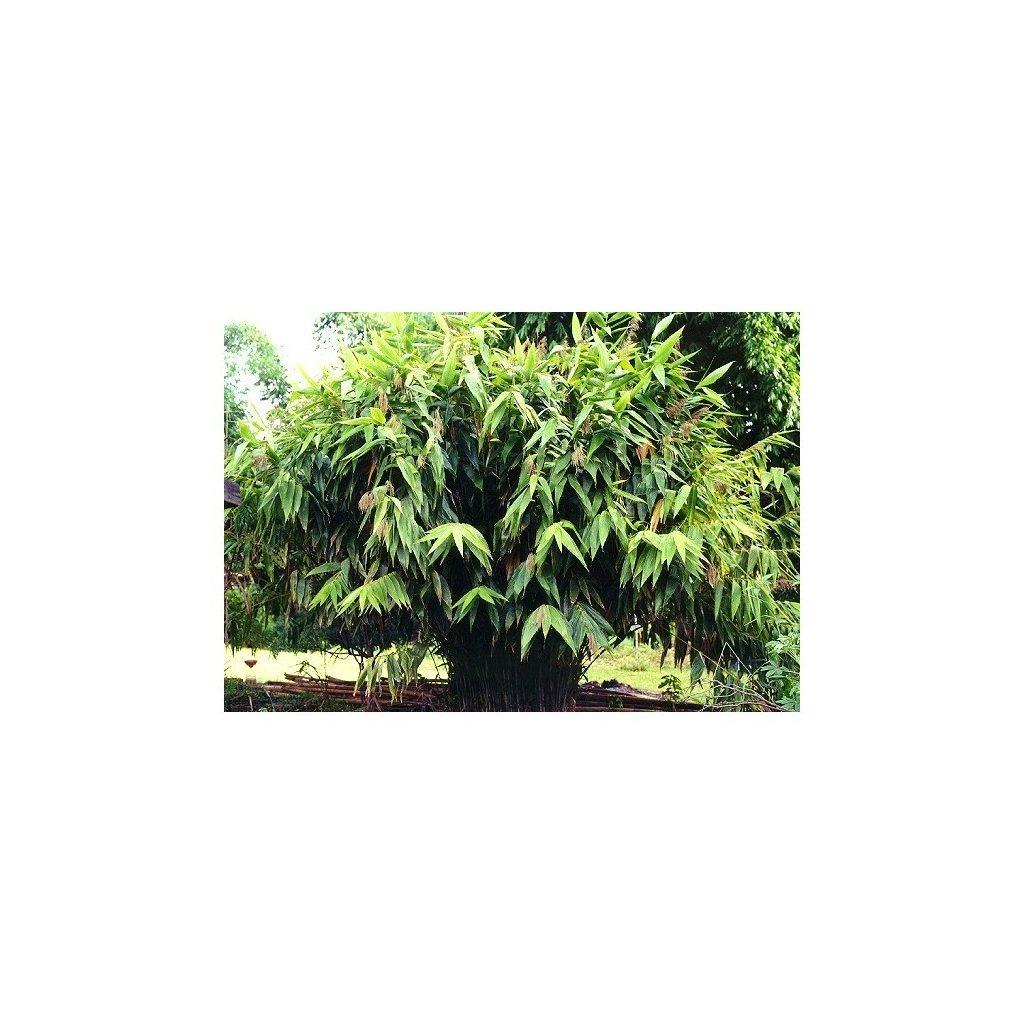 Tygří tráva (Thysanolaena maxima) - semena tygří trávy - 25 ks