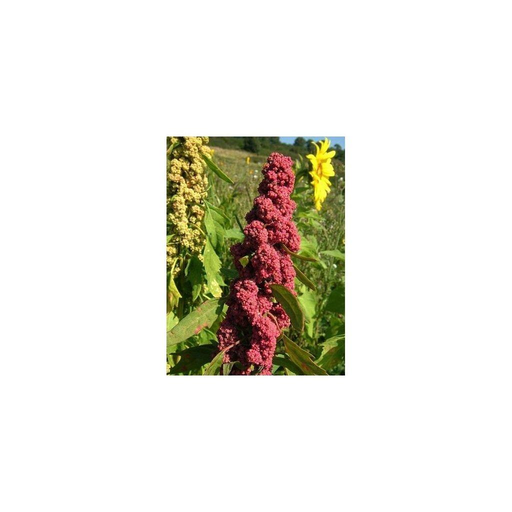 Merlík chilský - Quinoa, červená (Chenopodium Quinoa) semena - cca 20 ks