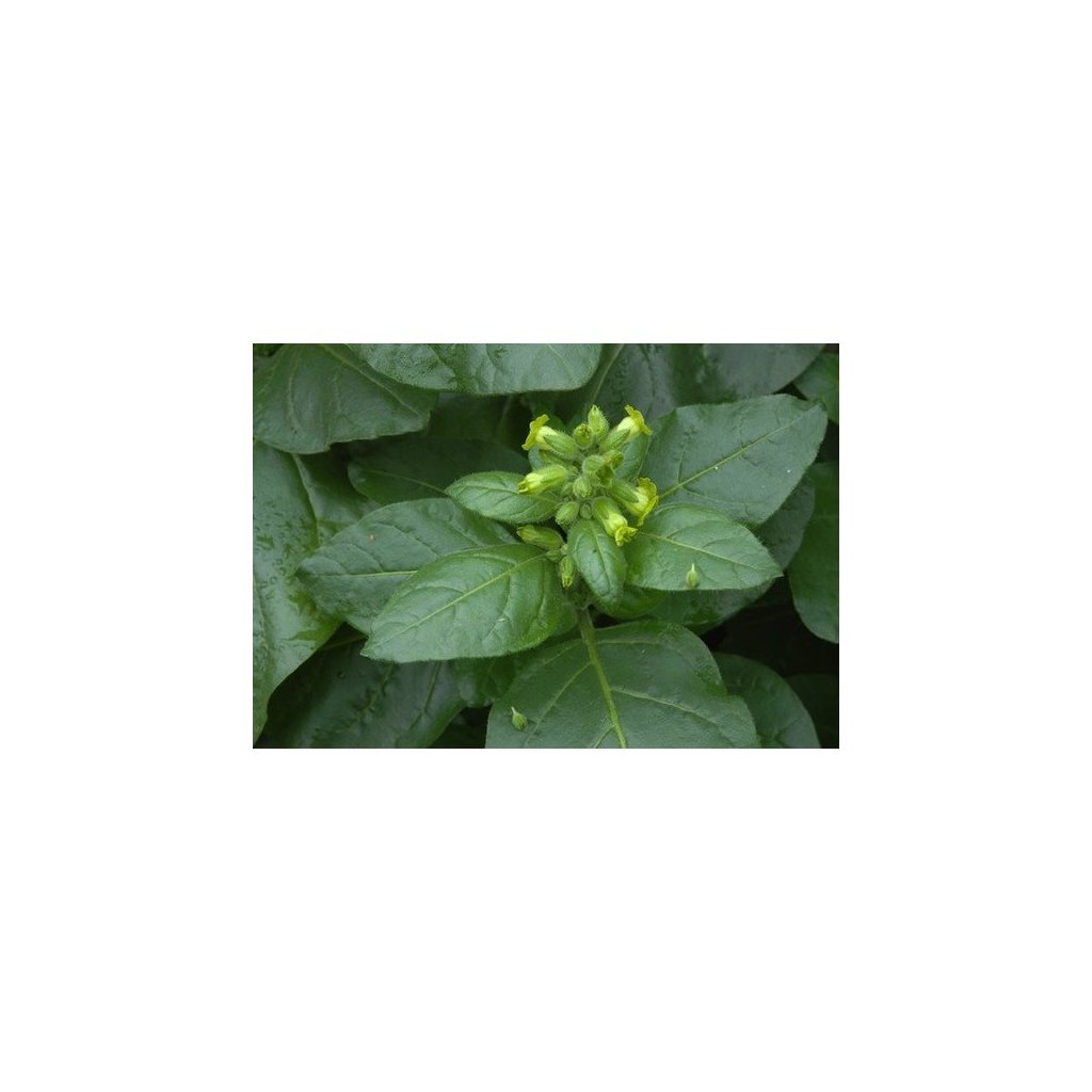 Tabák selský (Nicotiana rustica) - semena tabáku - 0,1g cca 300 ks