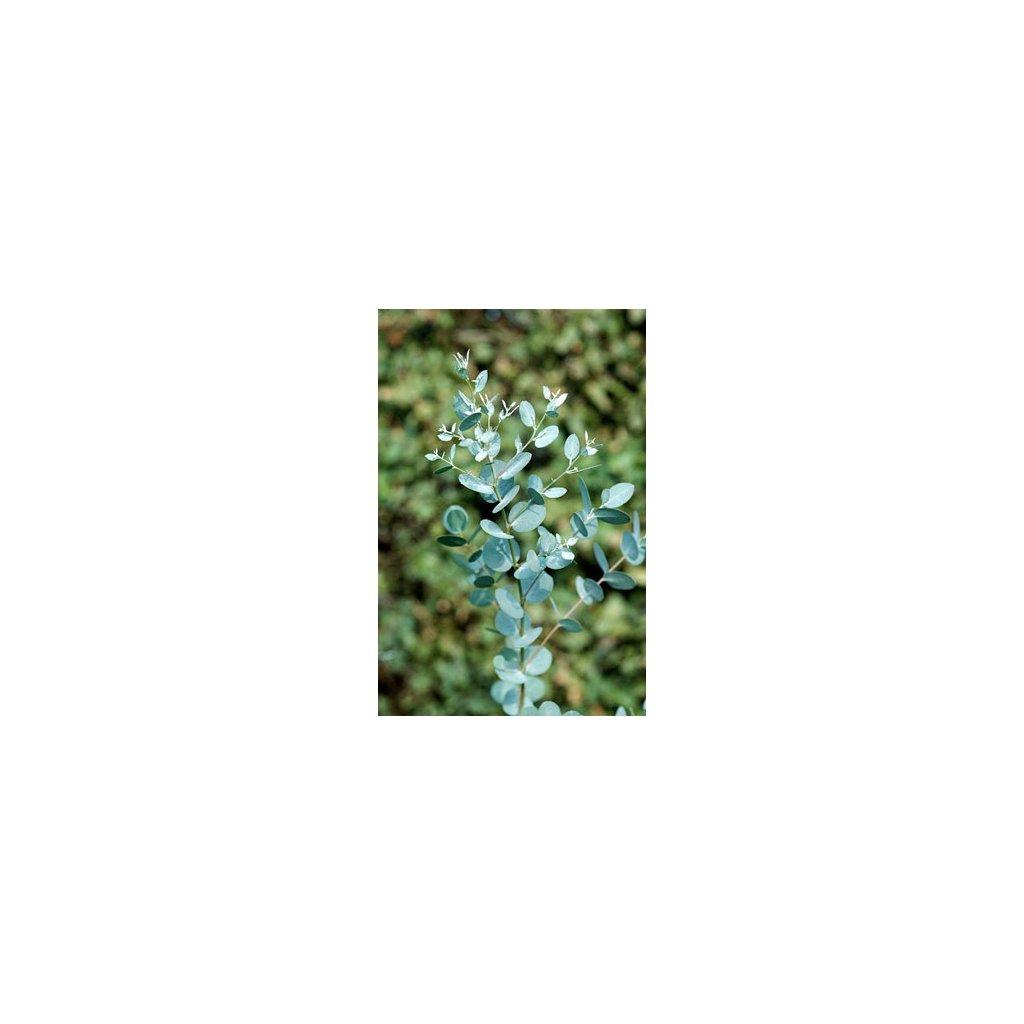 Blahovičník Gunnův - Eukalyptus guni (Eucalyptus gunnii) semena eukalyptu - 10 ks