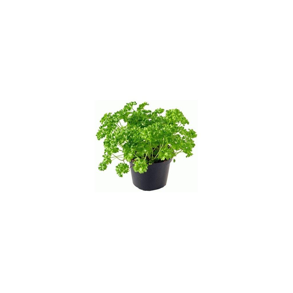 Petržel naťová, kadeřavá (petrželka) - semena petržele, 2 g, 1400 ks