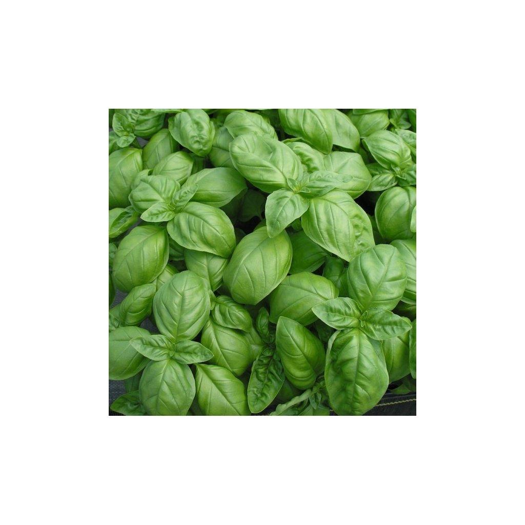 Bazalka pravá velkolistá - Genovese, Janovská - semena bazalky 0,5 g, 450 ks