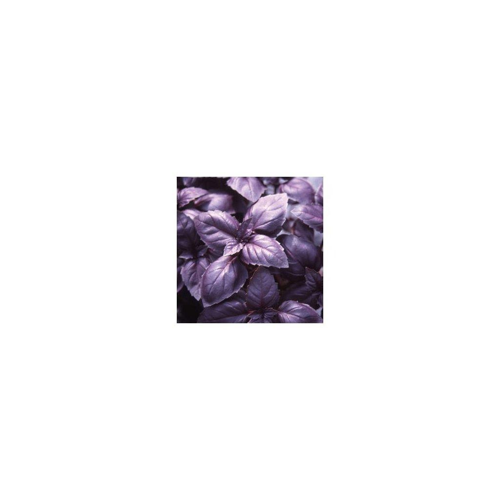 Bazalka pravá červená - Red Rubin - semena bazalky 0,5 g, 450 ks