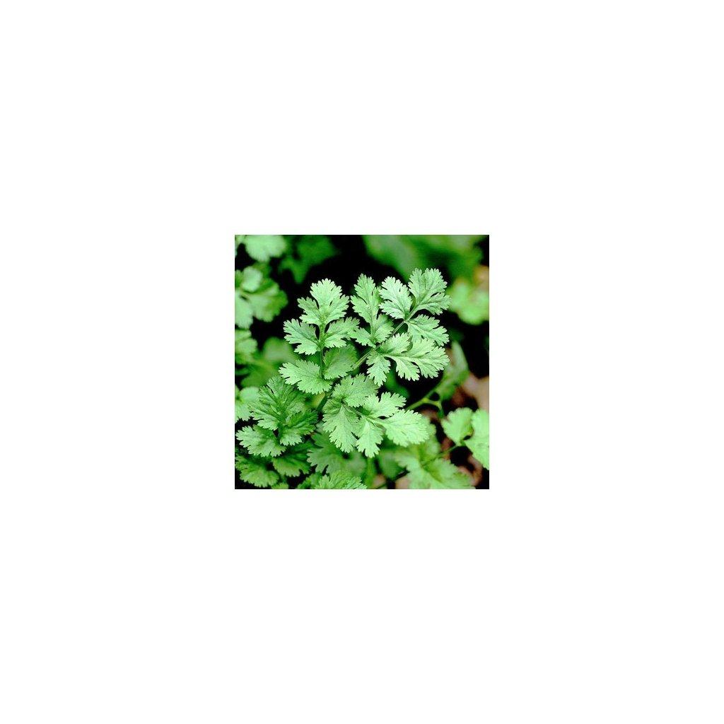 Koriandr setý Hrubčický - Coriandrum sativum - semena koriandru 2 g, 200 ks