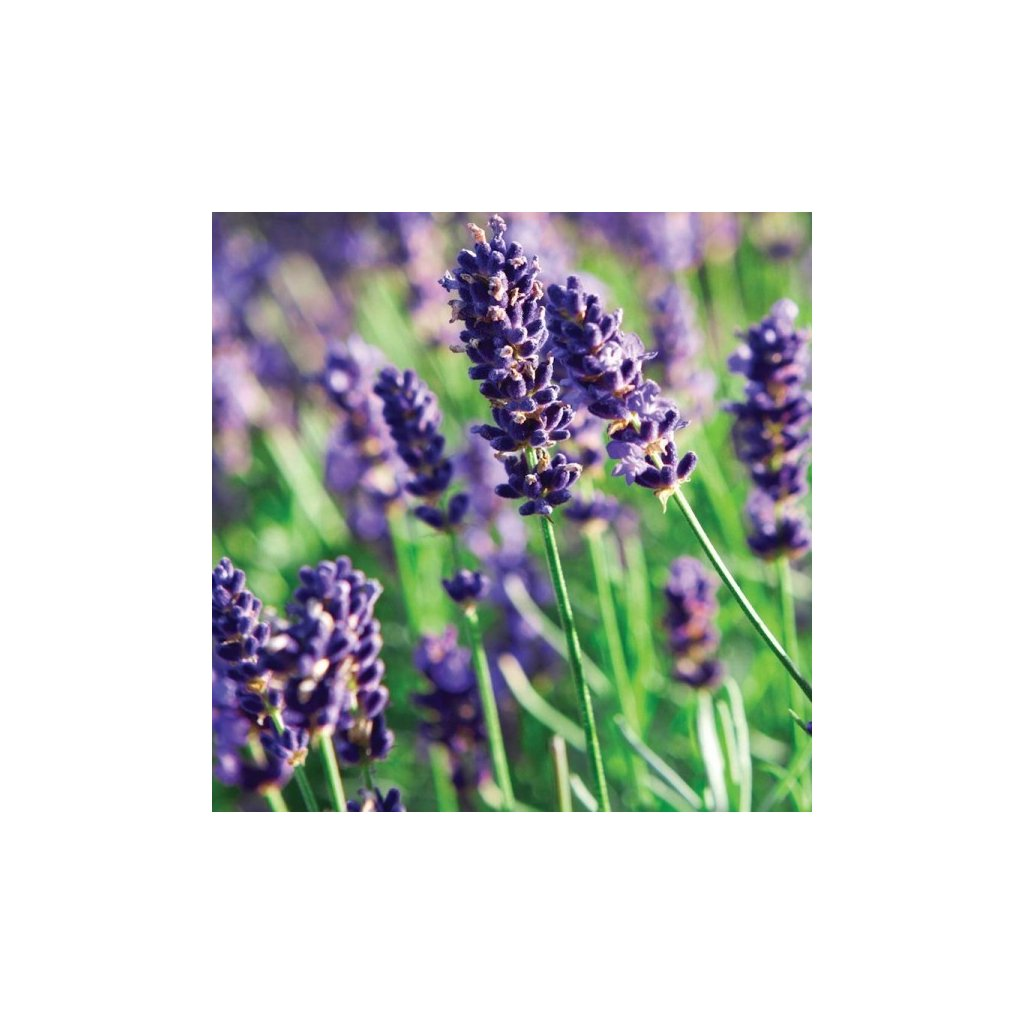 Levandule lékařská - Lavandula angustfolia - semena levandule 0,2 g, 180 ks