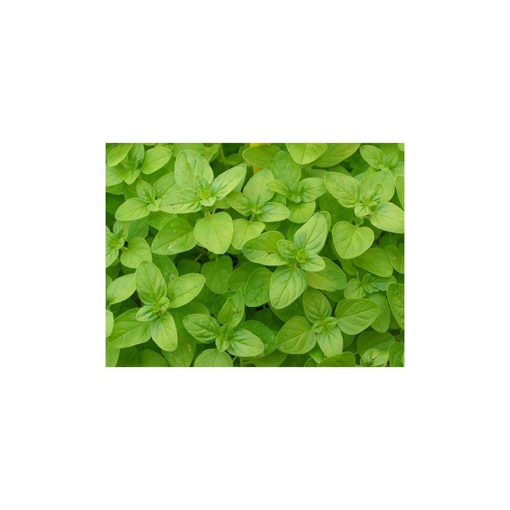 Majoránka zahradní - Origanum majorana - semena majoránky 0,4 g, 2000 ks
