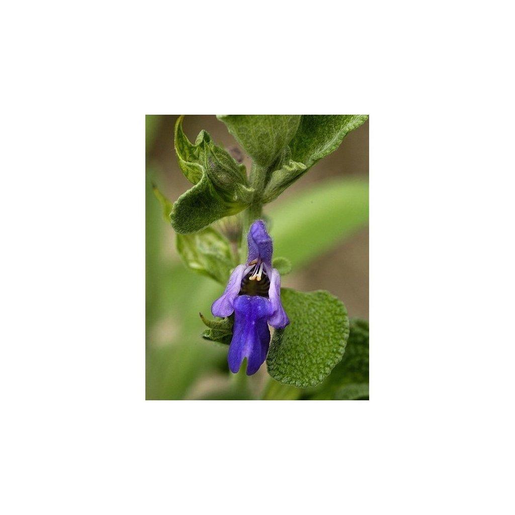 Šalvěj lékařská - Salvia officinalis - semena šalvěje 0,4 g, 40 ks