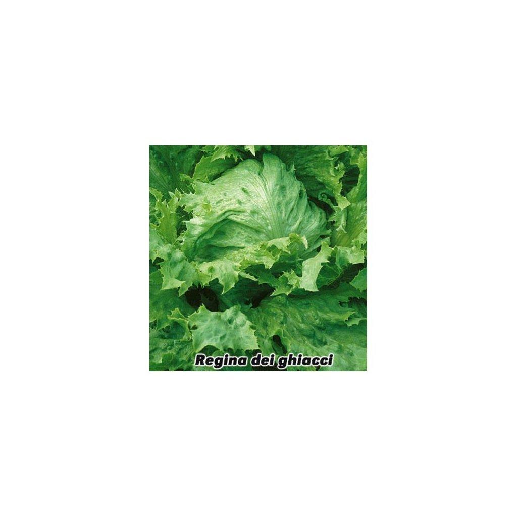 Salát hlávkový ledový Regina dei Ghiacci - semena salátu 0,5 g, 400 ks