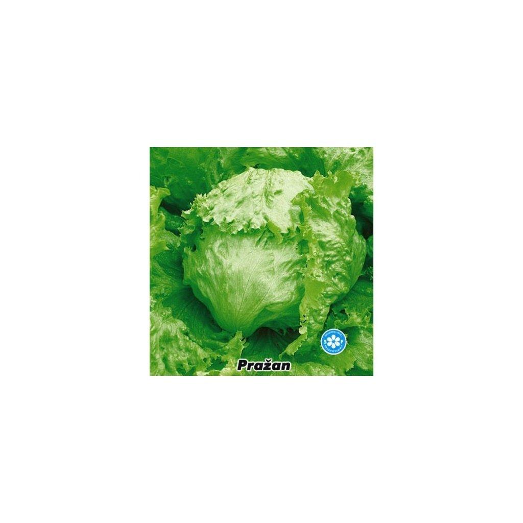 Salát hlávkový ledový Pražan - semena salátu 0,5 g, 400 ks