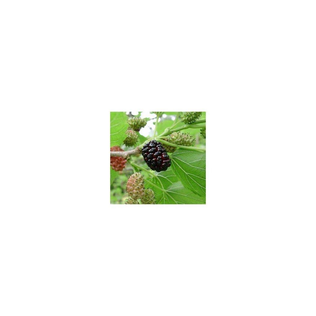 Morušovník černý (Morus nigra) semena moruše - 10 ks