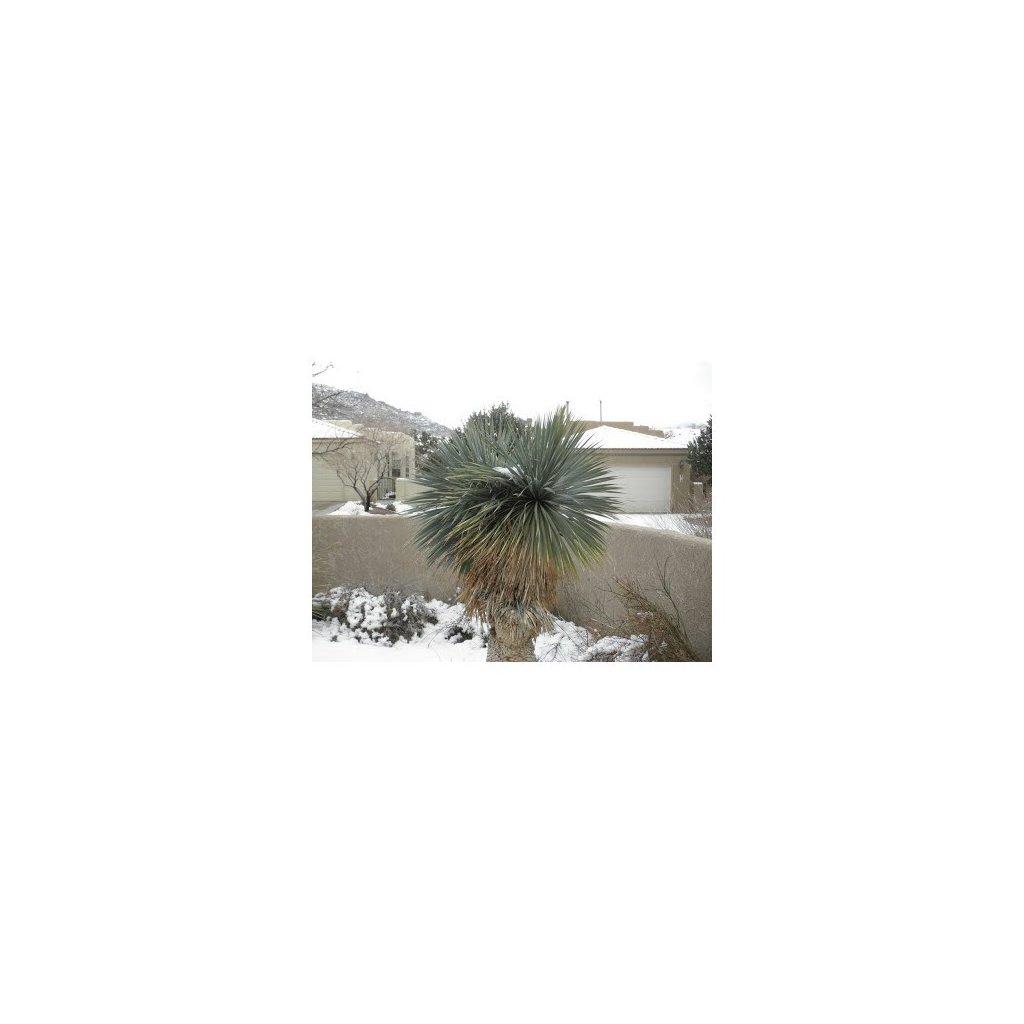 Juka rostrata - mrazuvzdorná (Yucca rostrata) semena juky - 10 ks