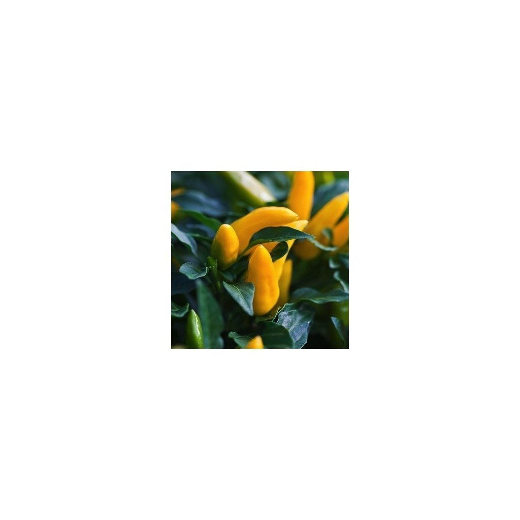 Kordara - okrasné žluté chilli papričky - semena - 0,1 g, 15 ks