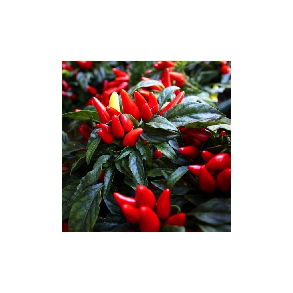 Figura - okrasné červené chilli papričky - semena - 0,1 g, 15 ks