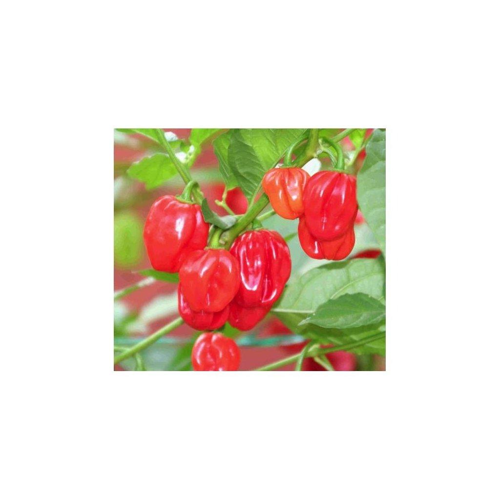 Scotch Bonnet Red, červené extrémně pálivé chilli papričky - semena papriček - 10 ks