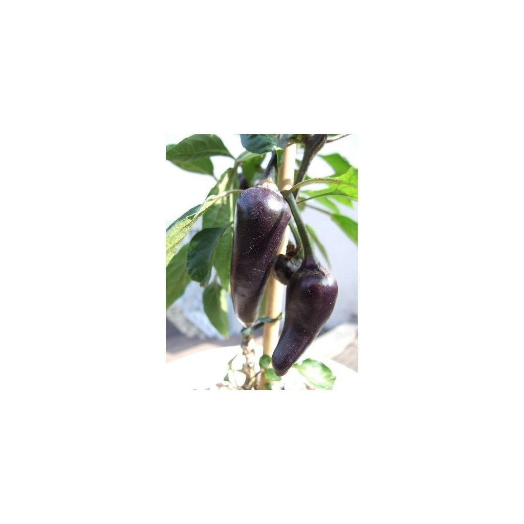 Serrano Purple - fialové chilli papričky - semena chilli papriček - 10 ks
