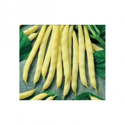 Blanche - fazol keříčkový bílý - semena fazole 5 g