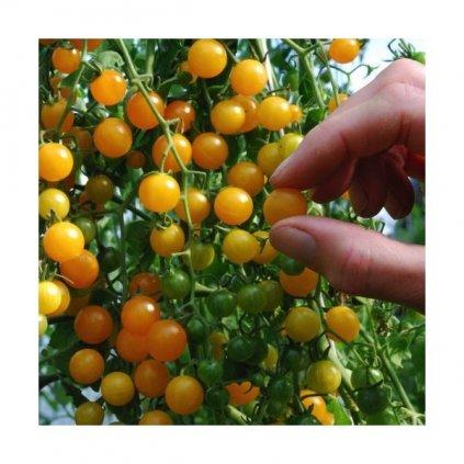 Divoké rajče rybízové žluté (Solanum pimpinellifolium) - semena divokých rajčat 10 ks