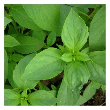 Bazalka balkonová citronová - semena bazalky 0,5 g, 450 ks