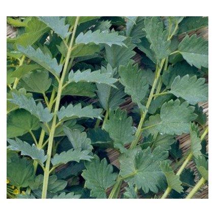Anýz vonný - Bedrník anýz (Pimpinella anisum) - semena anýzu 1,5 g