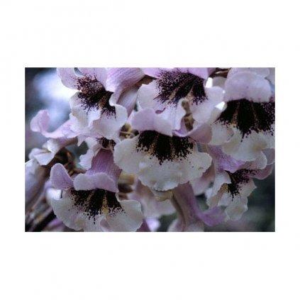 Paulownie fortunei (Paulownia fortunei) - semena paulovnie - 15 ks