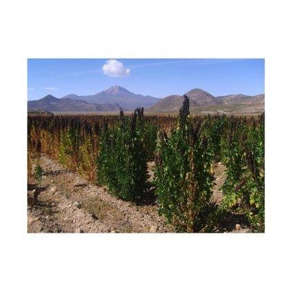 Merlík chilský - Quinoa, černá (Chenopodium Quinoa) semena - cca 20 ks