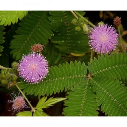 Citlivka stydlivá (Mimosa pudica) semena mimózy - 20 ks