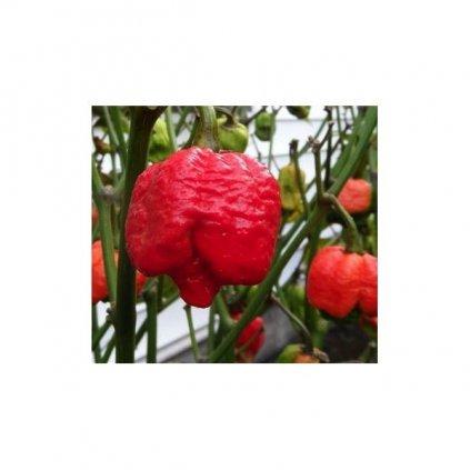 Trinidad 7 Pot (Pod) Brain Strain, extrémně pálivé chilli papričky - semena čili papriček - 5 ks