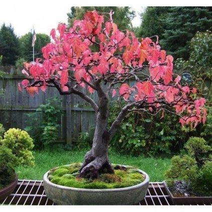 Javor tatarský (Acer tataricum) semena javoru - 5 ks