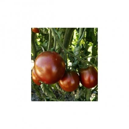 Rajče tyčkové černé Black Prince - semena rajčat 10 ks