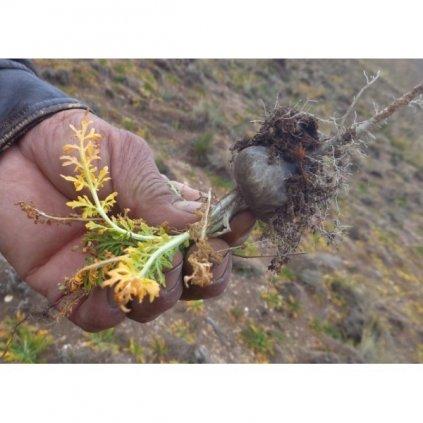 Maca horská černá (Lepidium meyenii) - semena macy - 20 ks