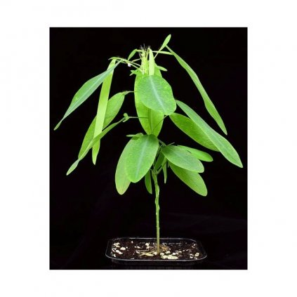 Tančící rostlina (Desmodium gyrans) semena - 5 ks
