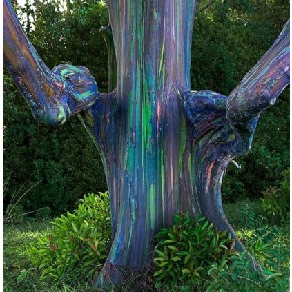 Blahovičník oloupaný - duhový eukalyptus (Eucalyptus deglupta) semena eukalyptu - 10 ks