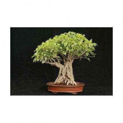 Fíkovník posvátný (Ficus religiosa) fikus semena fíkovníku - 10 ks