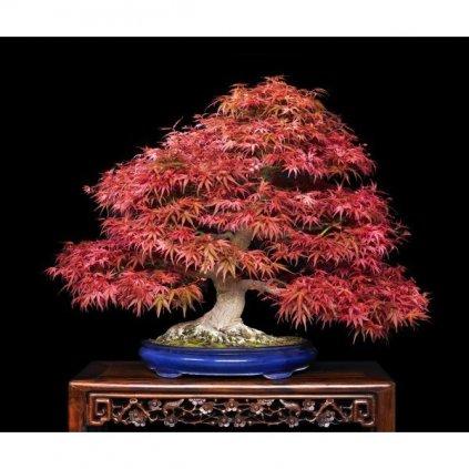 Javor dlanitolistý červený (Acer palmatum atropurpureum) semena javoru - 3 ks