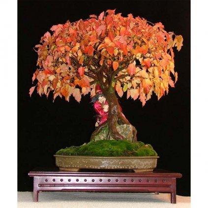 Javor amurský (Acer ginnala) semena javoru - 5 ks