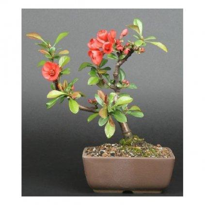 Kdoulovec japonský (Chaenomeles japonica) semena kdoulovce - 5 ks