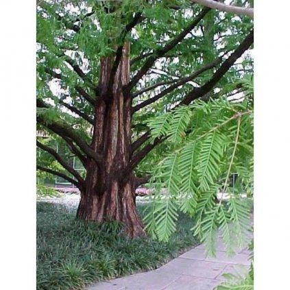 Metasekvoj čínská (Metasequoia glyptostroboides) semena metasekvoje - 10 ks