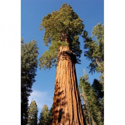 Sekvojovec obrovský (Sequoiadendron giganteum) semena sekvoje - 10 ks