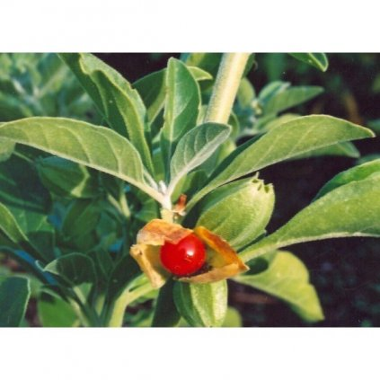 Vitánie snodárná - Indický ženšen (Withania somnifera) semena ženšenu - 10 ks