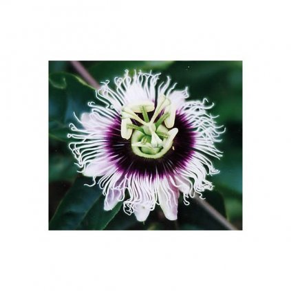 Mučenka jedlá - maracuja (Passiflora edulis) semena - 5 ks