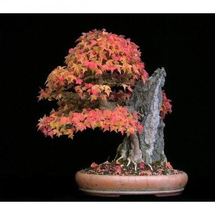 Javor Bürgerův (Acer buergerianum) semena javoru - 5 ks