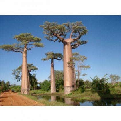 Baobab africký prstnatý (Adansonia digitata) semena baobabu - 3 ks