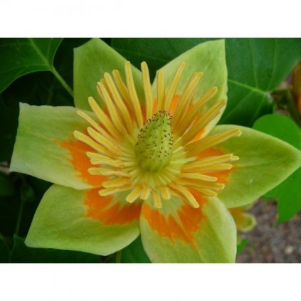 Liliovník tulipánokvětý (Liriodendron tulipifera) semena liliovníku - 3 ks