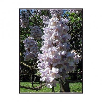 Paulownie plstnatá (Paulownia tomentosa) - semena paulovnie - 100 ks