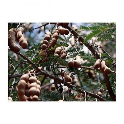 Tamarind indický (Tamarindus indica) semena tamarindu - 3 ks