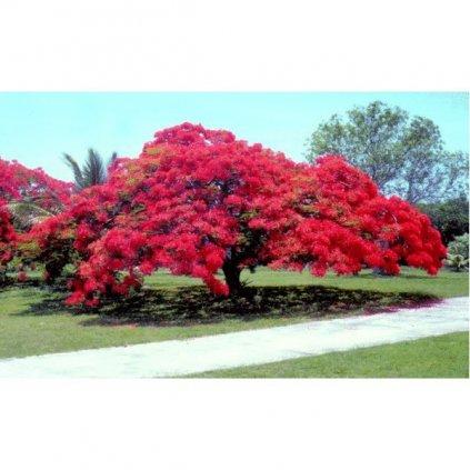 Ohňový strom Delonix královská (Delonix regia) semena - 5 ks