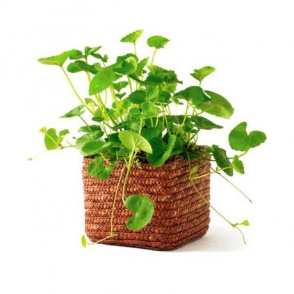 Pupečník asijský - Gotu kola (Centella asiatica) semena pupečníku - 6 ks