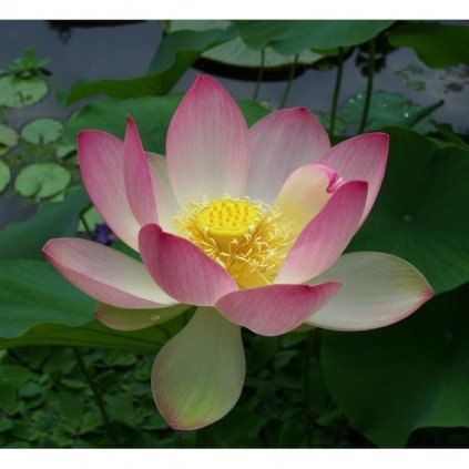 Lotos indický růžový (Nelumbo nucifera) semena lotusu - 2 ks
