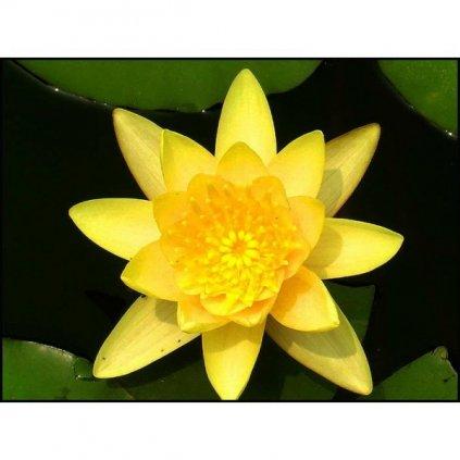 Lotos indický žlutý (Nelumbo nucifera) semena lotusu - 2 ks